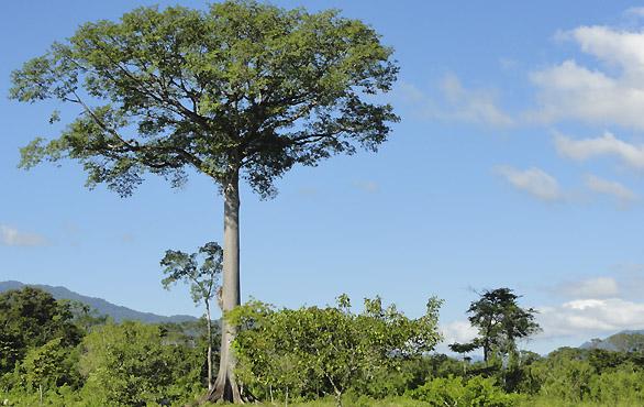 Arbol-Ceiba-Bioko-Guinea-Ecuatorial