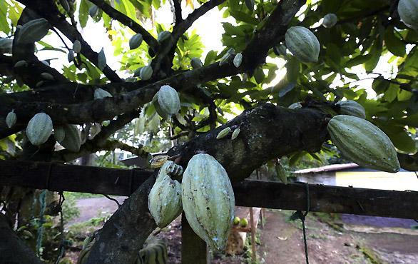 Cacaotera-Bioko-Guinea-Ecuatorial