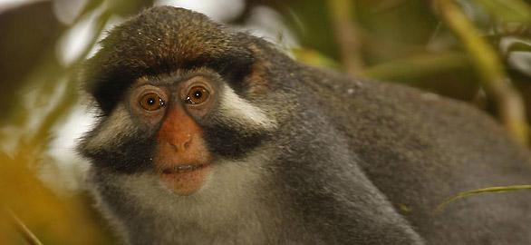Mono-orejas-rojas-bioko
