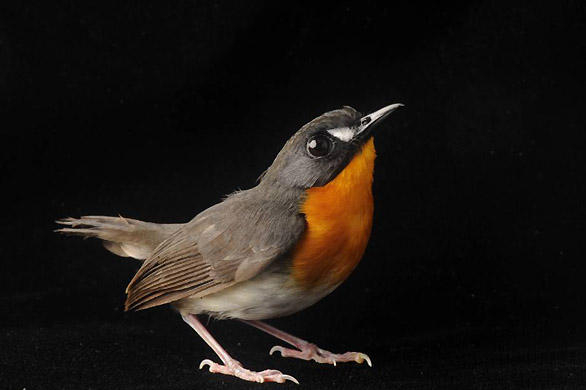 Pajaro-Forest-robin
