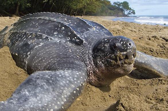 Tortuga-Laud-Leatherback